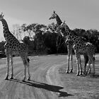 Standing tall at Werribee Zoo by Janette Anderson