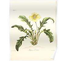 Floral illustrations of the seasons Margarate Lace Roscoe 1829 0098 Aenothera Triloba Poster