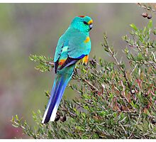 Mulga Parrot taken at Arid Lands Park at Port Augusta Photographic Print