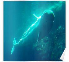 """Beluga Whale"" Poster"
