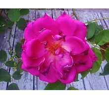 Old Rose Photographic Print