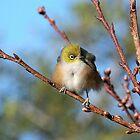 Silver Eye......as free as a bird..........! by Roy  Massicks