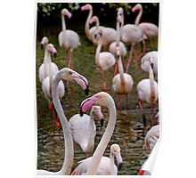 A stand of Greater pink Flamingoes Poster