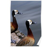 A pair of Whistling Ducks Poster