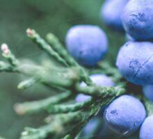 Blue Juniper Berries Macro Photography Sticker