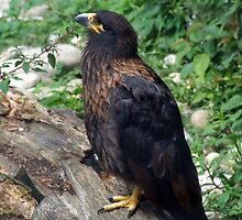Striated Caracara by Penny Campbell