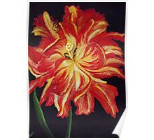 Ragged Tulip Poster