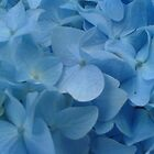 Blue petals by wannabewriter81