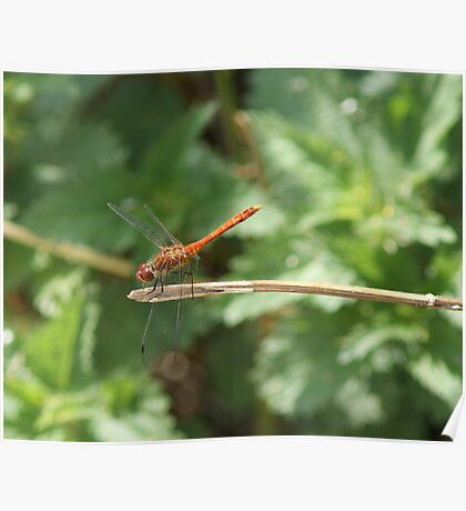 Large Red Dragon Fly Poster