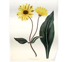 Floral illustrations of the seasons Margarate Lace Roscoe 1829 0314 Helianthus Atrorubens Poster