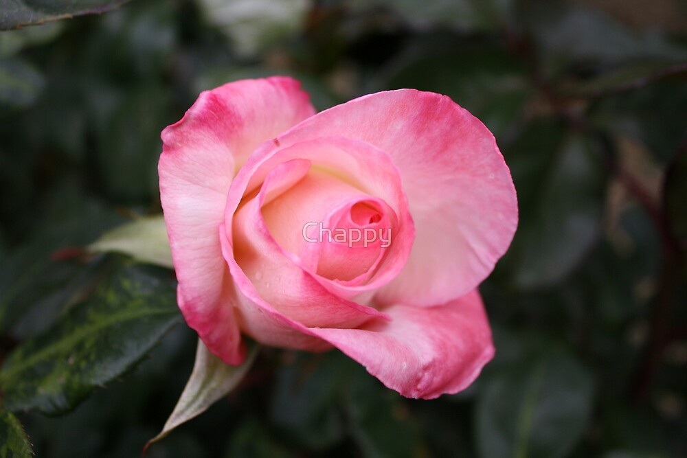 Pink Delight by Chappy