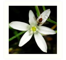 Tiny insect on white flower Art Print