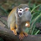 Squirrel monkey - (Simia sciureus) by Robert Taylor