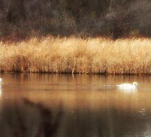 Swan Pond by Melody Ricketts