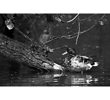 Duck and the sunken tree Photographic Print