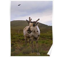 The Cairngorms: Reindeer Poster