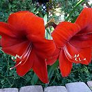 AMARYLLIS by Larry Trupp