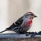 MALE COMMON REDPOLL by Larry Trupp