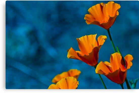 California Poppy by Phillip M. Burrow