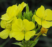 Common Evening - Primrose- Oenothera biennis by Tracy Faught