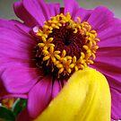 Fuschia Zinia and Yellow Lily Petal by SBrown