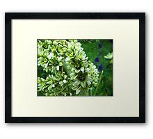 Colorado Wildflowers - Colorado False Hellebore Framed Print