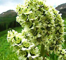 Yankee Boy Basin Wildflowers - Colorado False Hellebore by Bill Hendricks