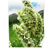 Yankee Boy Basin Wildflowers - Colorado False Hellebore Poster