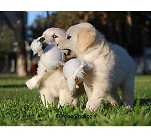 Baby Golden Retrievers at Play Photographic Print