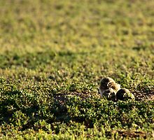 Burrowing Owl Chicks by Jay Ryser