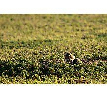 Burrowing Owl Chicks Photographic Print