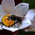 Bald Faced Hornet by Larry Trupp
