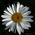 .shasta daisy. by foozma73