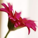 Pink gerbera by Sangeeta