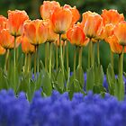 Orange Tulips by Lindie
