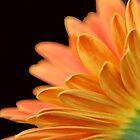 Orange Gerbera Daisy by Jill Vadala