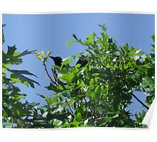 Male Grackle on Nest Poster