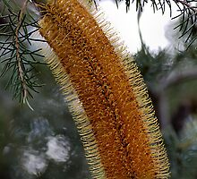Banksia - Australian Native by Joy Watson