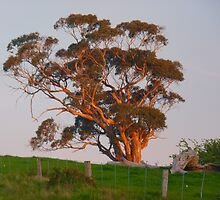 Old Gum Tree at Sunset by Meg Hart