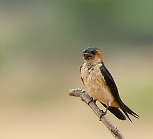 Barn Swallow by kvbhat
