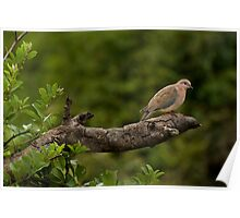 Laughing dove Poster