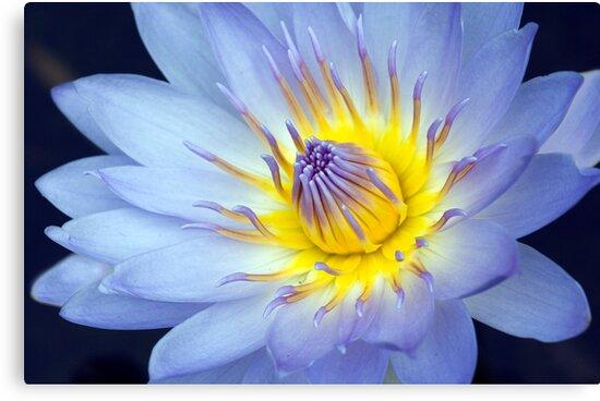 Feeling Blue - macro waterlilly by Jenny Dean