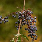 Oregon grape by scooterdude