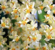 Minute Beauty - tiny orchids by kaety