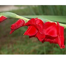 Leaning sword lilies Photographic Print