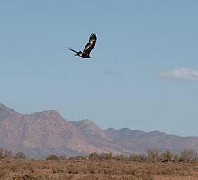 Wedgetail over Flinders by JSumpton