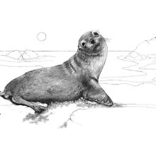 Australian seal by Laura Grogan