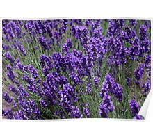 Lavender on a Windy Day Poster