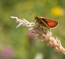 Essex Skipper by Jo Nijenhuis