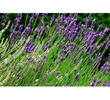 Lavenders blue Dilly Dilly..... Photographic Print